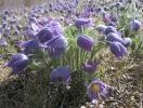 Цветы весенние. Прострел-ургуй