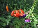 Лилия кудрявая и горошек
