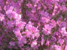 Цветки рододендрона даурского