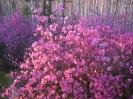 Цветы весенние. Багульник